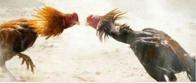 bandar sabung ayam